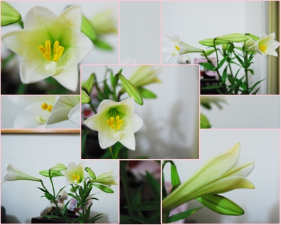 Lily 200409