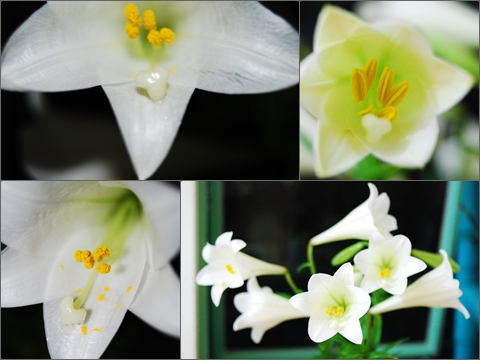 Lily 230409